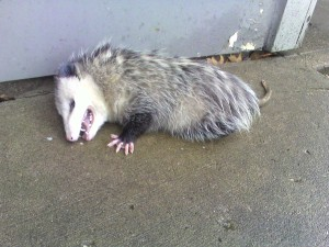 This possum, like the idea of immigration reform, is not as dead as it may seem.